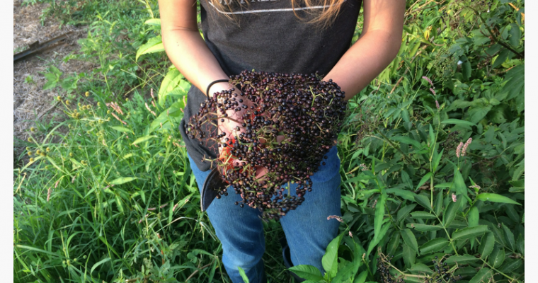 Elderberry Information