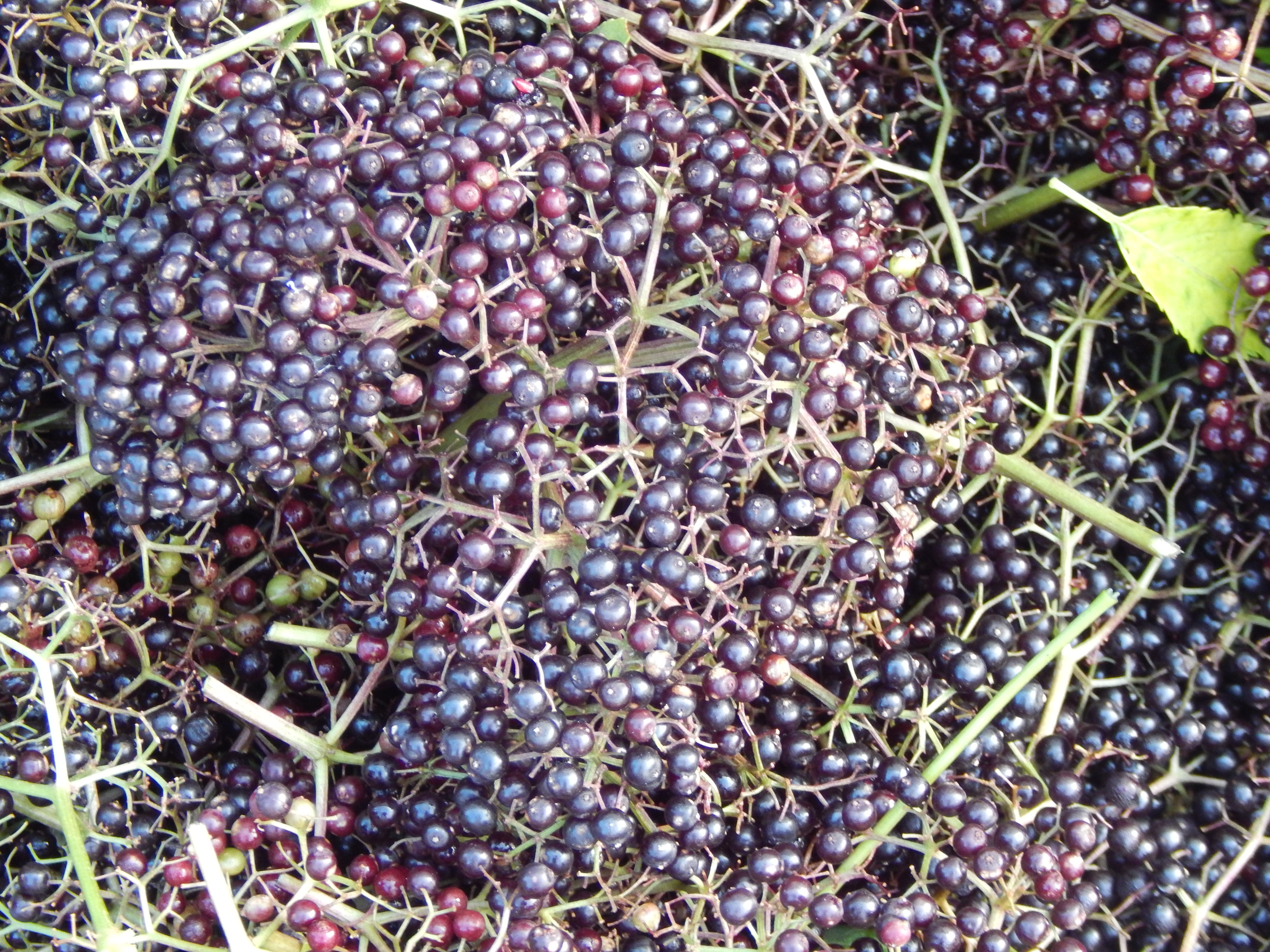 The research on elderberry syrup